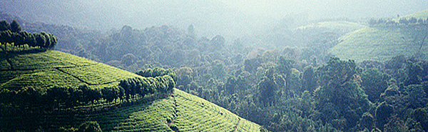 Burundi Tea Estate
