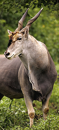 Eland