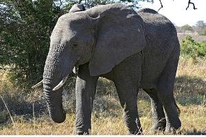 Kruger National Park Elephant